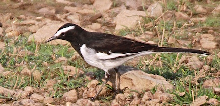 White-browed Wagtail, Ranthambore National Park