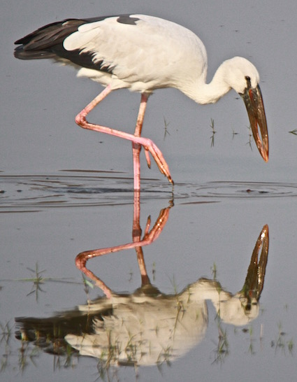 Asian Openbill, Ranthambore National Park