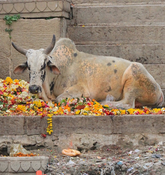 Cow with marigolds