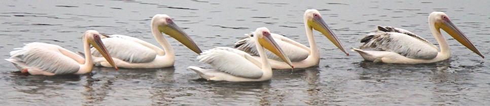 Great White and Dalmatian Pelicans, Yamuna River