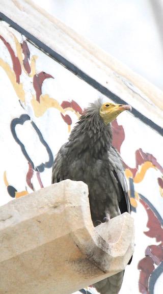 Immature Egyptian Vulture, Taj Mahal