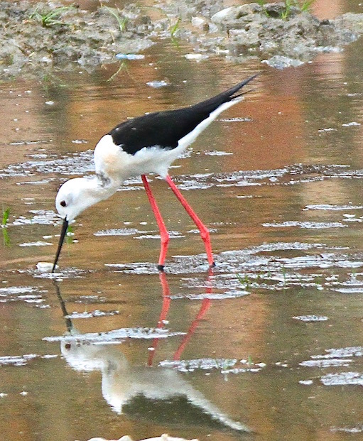 Stilt at the Painted-Snipe Place, Bharatpur