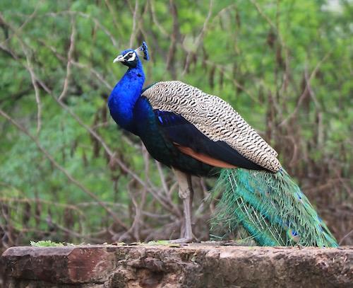 Peacock, Bharatpur