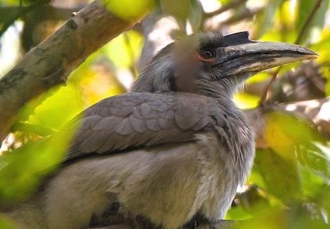 Grey Hornbill, Bharatpur