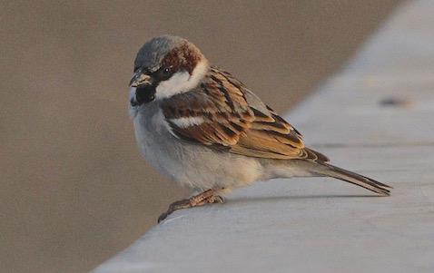 Genuine Migratory House Sparrow