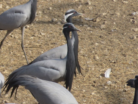 Handsome cranes