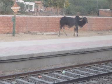 Wandering cattle