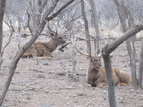 Samba Deer, Ranthambore National Park