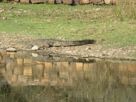 Mugger Crocodile, Ranthambore National Park
