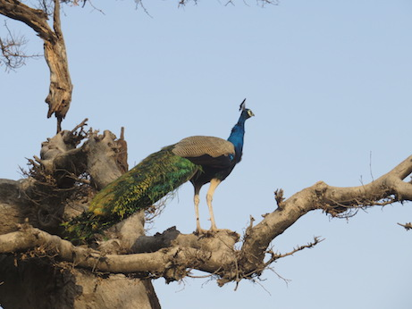 Peacock, Ranthambore National Park