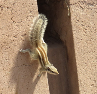 Five-striped Palm Squirrel, Agra Fort