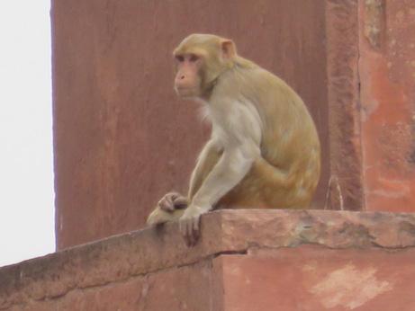 Rhesus Macaque, Taj Mahal