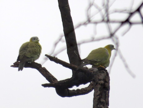 Yellow-footed Green-Pigeons, Keoladeo National Park