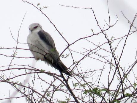 Black-shouldered Kite, Keoladeo National Park