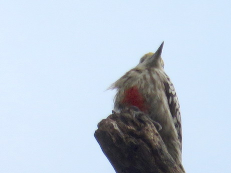 Yellow-crowned Woodpecker, Keoladeo National Park