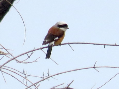 Bay-backed Shrike, Keoladeo National Park
