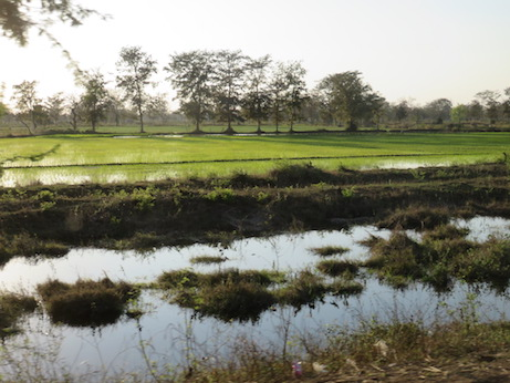 Newly-planted rice
