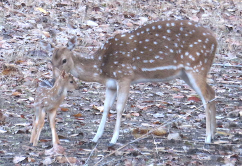 Spotted Deer mother and fawn, Kanha National Park