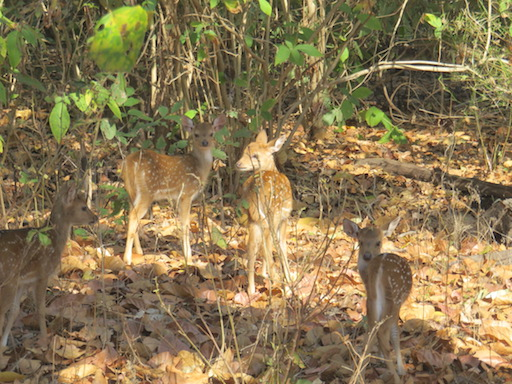 Spotted Deer fawns, Kanha National Park