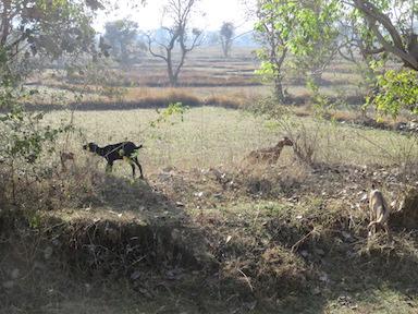 Goats in dry field