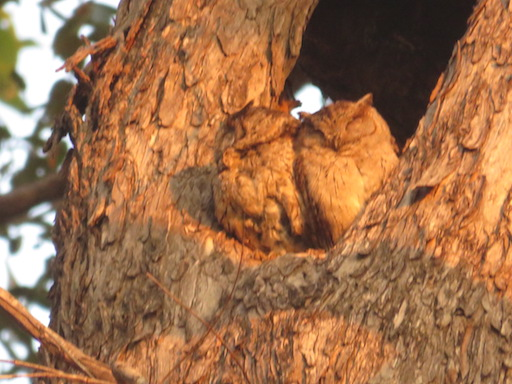 Indian Scops Owls, Kanha National Park