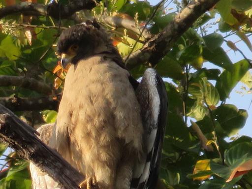 Crested Serpent-Eagle, Kanha National Park