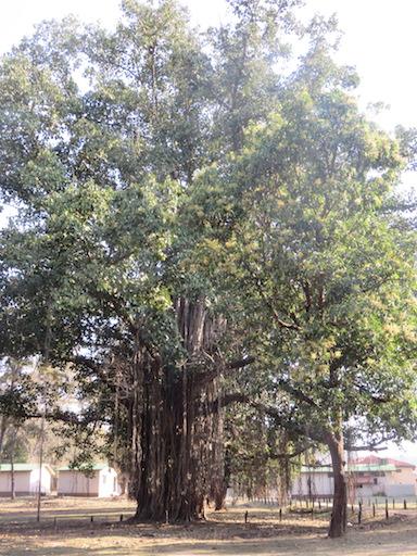 Banyan Tree, Kanha National Park