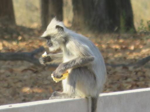 Hanuman Langur breakfasting, Kanha National Park