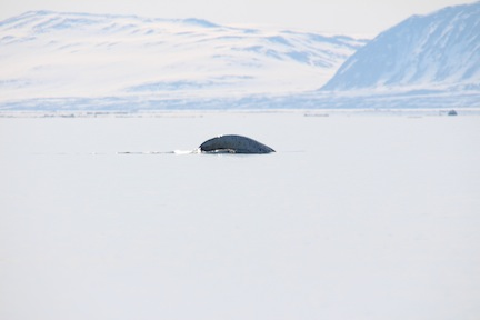Narwhal diving