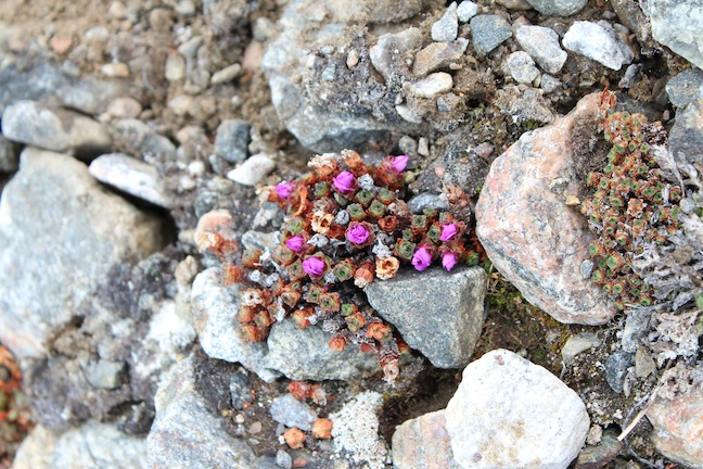 Purple Saxifrage in bloom