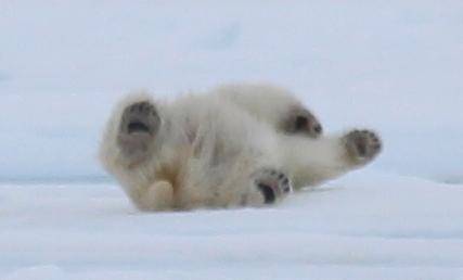 Polar Bear taking snow bath