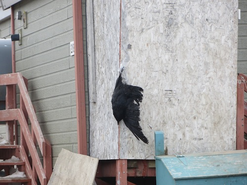 Raven nailed to the wall