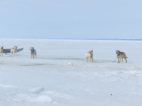 Sled Dogs on Ice Floe