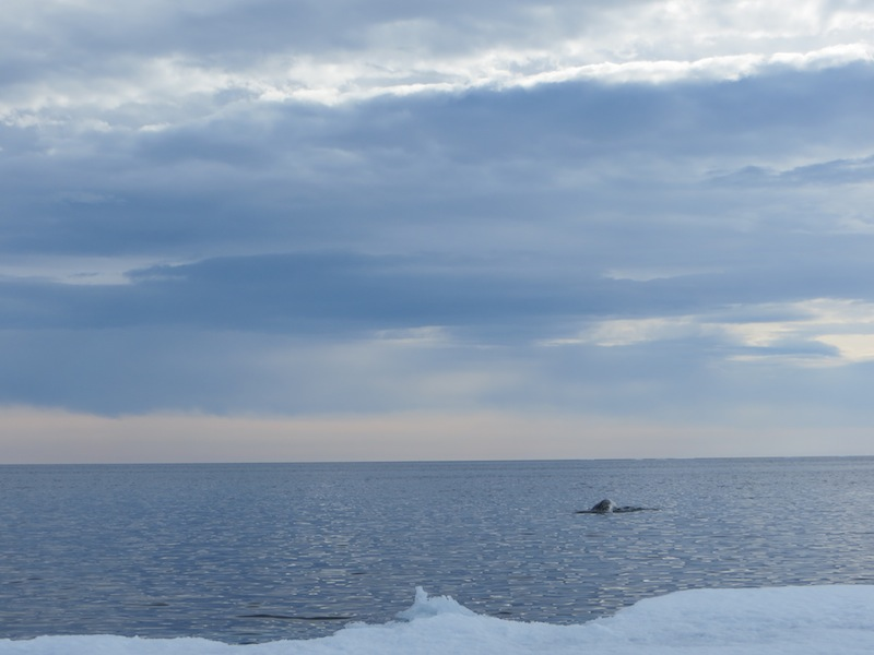Narwhal At the edge of the floe