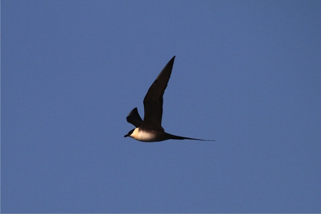 Long-tailed Jaeger flying