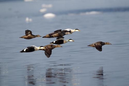 Common Eiders in flight